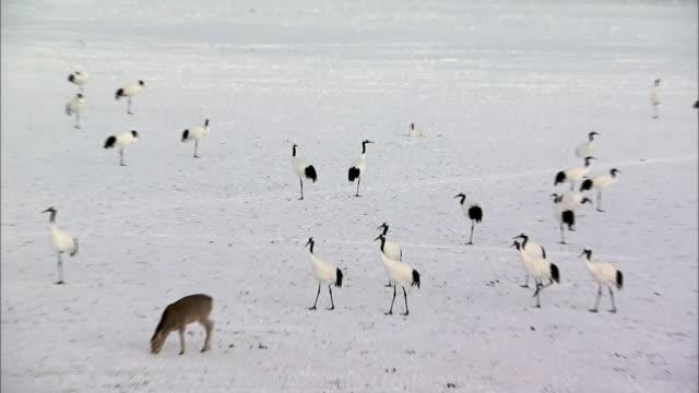 yezo deer with japanese cranes - 食糧を捜す点の映像素材/bロール