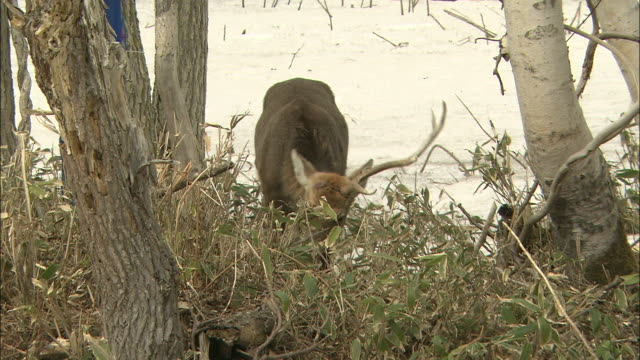 a yezo deer with one antler grazes near another yezo deer with one antler. - antler stock videos & royalty-free footage