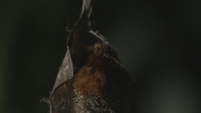 Yonaguni moth (Attacus atlas ryukyuensis) starts to emerge from cocoon. Japan.