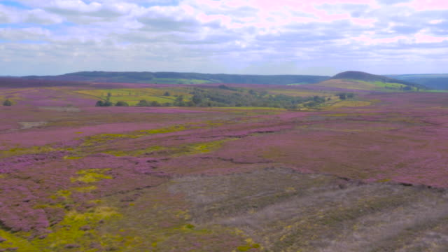 yorkshire moors in heather bloom filmed by drone - heather hunter stock videos & royalty-free footage