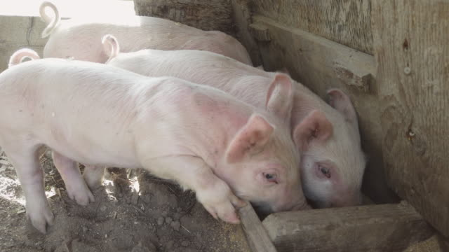 yorkshire piglets in pigpen and grazing  during pandemic crisis - pig stock videos & royalty-free footage
