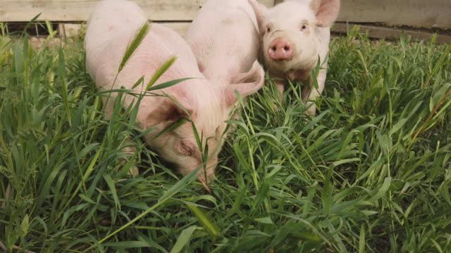 vídeos de stock e filmes b-roll de yorkshire piglets in pigpen and grazing  during pandemic crisis - porco