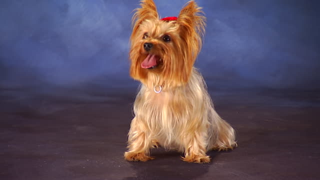 MS Yorkshire Terrier in front of backdrop / United States