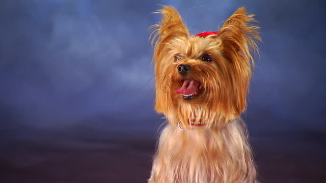 CU Yorkshire Terrier in front of backdrop / United States