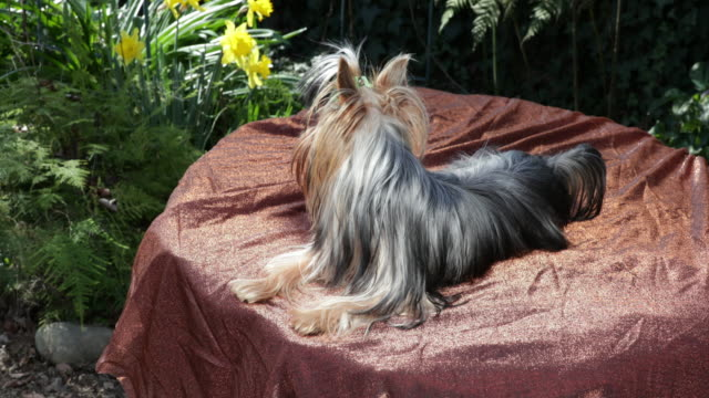 Yorkshire Terrier lying, looks around, stands up