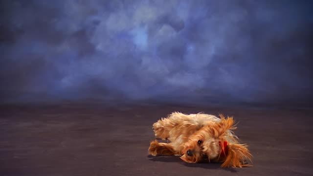 vidéos et rushes de ms yorkshire terrier lying on floor in front of backdrop / united states - rouler ou dérouler