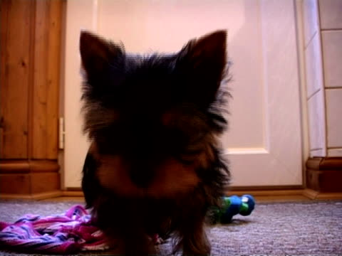 cu yorkshire terrier puppy looking to camera, england - 子犬点の映像素材/bロール