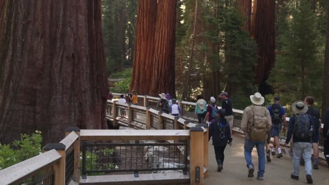 yosemite national park's mariposa grove of giant sequoia trees reopens to the public after a three year renovation - giant sequoia stock videos and b-roll footage