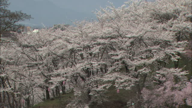 yoshino cherry trees blossom near mount kobo on a foggy day in hadano, japan. - kanagawa prefecture stock videos and b-roll footage