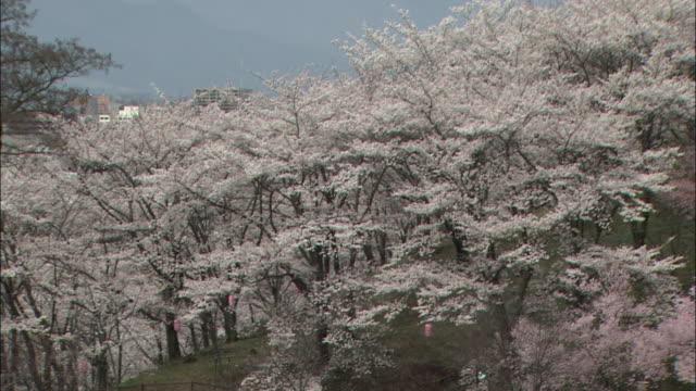 Yoshino cherry trees blossom near Mount Kobo on a foggy day in Hadano, Japan.