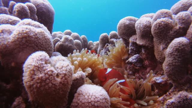 vidéos et rushes de vous ne pouvez pas explorer le récif corallien sans voir un clownesque - exotisme