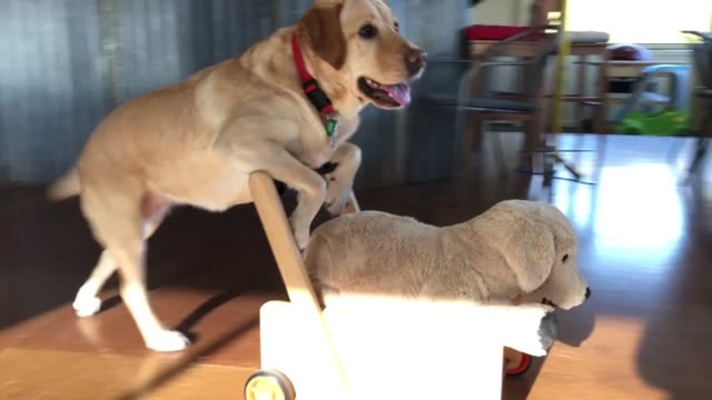 you will love to see this funny video where we can see a gentle labrador pushing a pram to walk his doll which is also a labrador as tender as him... - obedience stock videos & royalty-free footage