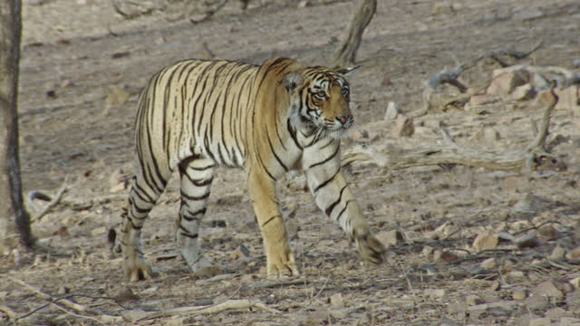 young adult female tiger looks alert, stalking near the woodland - alertness stock videos & royalty-free footage