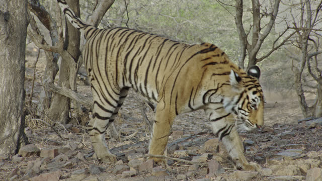 young adult female tiger smelling on wood and marking territory - animal colour stock videos & royalty-free footage