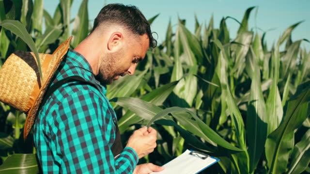 vídeos de stock e filmes b-roll de young adult male farmer in the corn field - agrafo