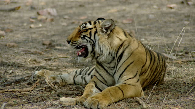 young adult tiger breathing heavily, looking away - nature reserve stock videos & royalty-free footage