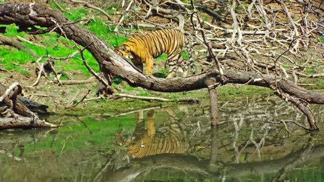 young adult tiger climbing on the giant tree trunk and crossed away. tiger urinating near the water edge. - tropical rainforest stock videos & royalty-free footage