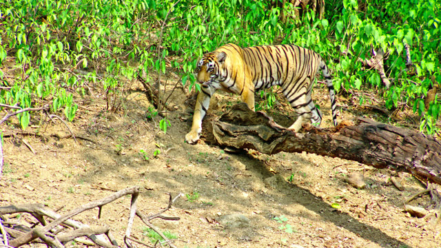 young adult tiger moving out from lush plants and walking towards the camera - tropical rainforest stock videos & royalty-free footage