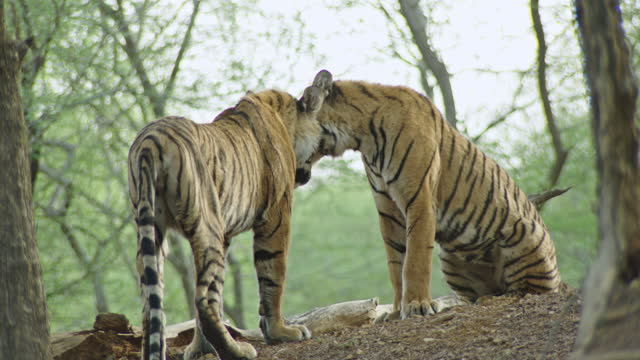 vidéos et rushes de young adult tiger roaring towards the sibling and rubbing face - medium group of animals