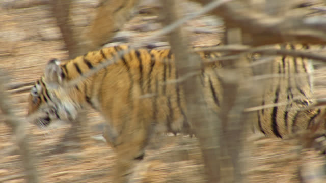 young adult tiger running through wooded area, alert - young animal点の映像素材/bロール