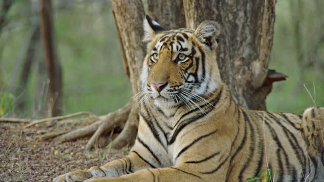 young adult tiger smelling on the ground and sitting near the tree stump - wildlife reserve stock videos & royalty-free footage
