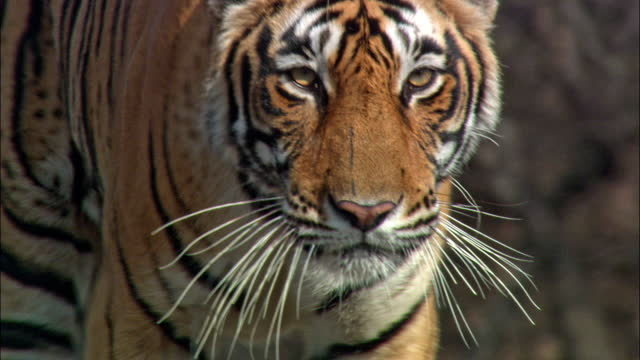 vidéos et rushes de young adult tiger walking through dry grass field and staring at the camera - closeup shot - à rayures