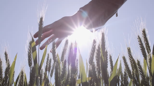 young adult woman touching wheat in agriculture field - leather jacket stock videos & royalty-free footage