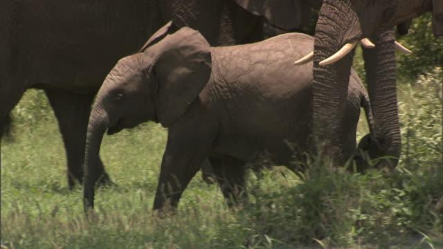 vídeos y material grabado en eventos de stock de young african bush elephant walking w/ adult elephants behind & around on grassy plain of the okavango delta, trees around. - delta de okavango