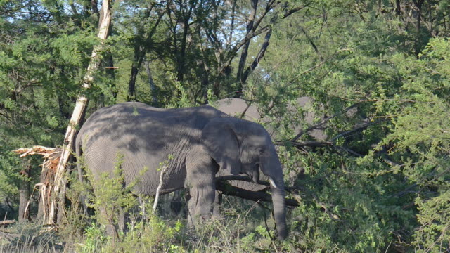 young african elephant eats from felled tree - female animal stock videos & royalty-free footage