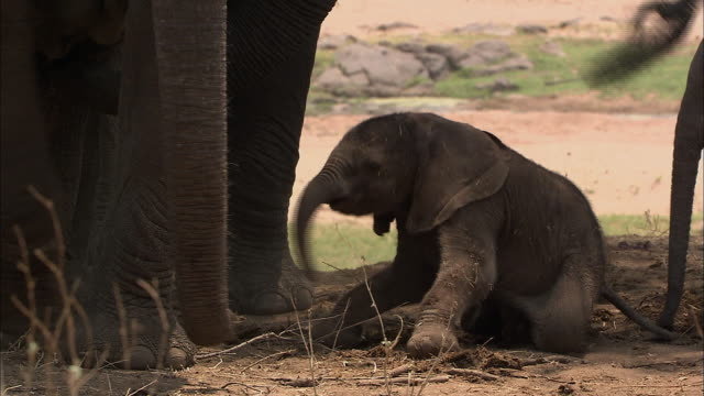 a young african elephant on his first steps - はじめの一歩点の映像素材/bロール