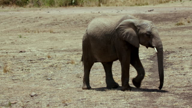 young african elephant walking maasai mara  kenya  africa - animal ear stock videos & royalty-free footage