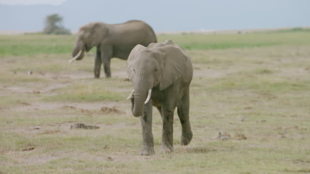 MS TS Young African Elephant walking on savanna landscape / Kenya