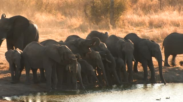 stockvideo's en b-roll-footage met young african elephants crowd together along the edge of a watering hole and drink the water. available in hd. - neus van een dier