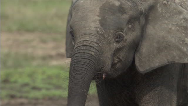 Young African forest elephant (L.a.cyclotis), Central African Republic