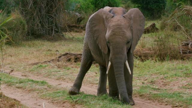 Young African Forest Elephant Grazing Samburu  Kenya  Africa
