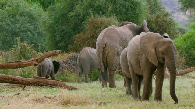 young african forest elephants grazing samburu  kenya  africa - feeding stock videos & royalty-free footage