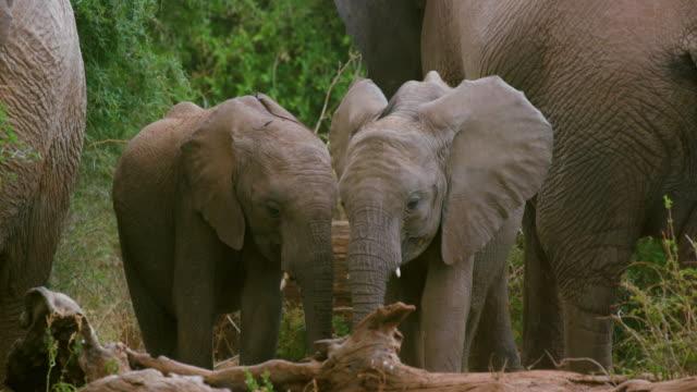 Young African Forest Elephants Grazing Samburu  Kenya  Africa