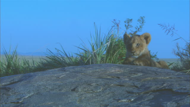 ws young african lion cub lying on bare rock outcrop close to camera  - outcrop stock videos & royalty-free footage