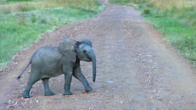 MS, PAN, Young African Savanna Elephant (Loxodonta africana cyclotis) crossing dirt road, Masai Mara Game Reserve, Rift Valley, Kenya