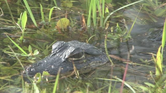 junge alligator 3-hd-bis 30 - tierkörper stock-videos und b-roll-filmmaterial