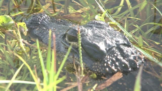 junge alligator 5 bis 30-hd - tierkörper stock-videos und b-roll-filmmaterial