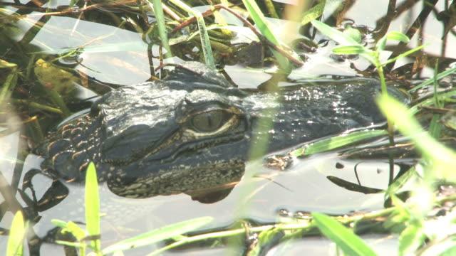 junge alligator a-hd bis 30 - tierkörper stock-videos und b-roll-filmmaterial