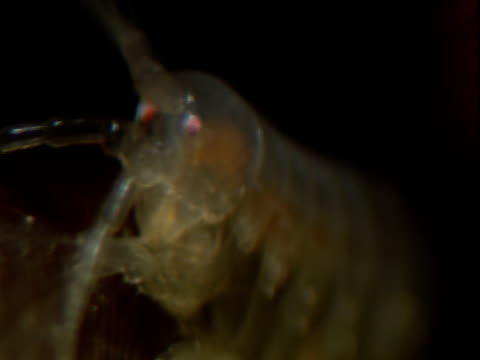 a young amphipod feeds. - anacortes stock videos & royalty-free footage