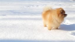 Young and playful Spitz eats snow and runs around the tail