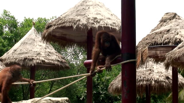 young apes - animals in captivity stock videos & royalty-free footage