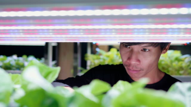 Young Asian man check his Organic hydroponic vegetable cultivation farm , Green hydroponic organic salad vegetable indoor farm.