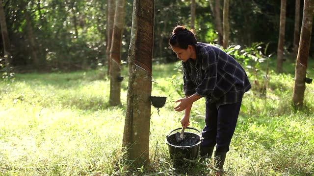Young Asian Rubber Tapper Pour Latex Rubber into the Bucket in the Rubber Forest