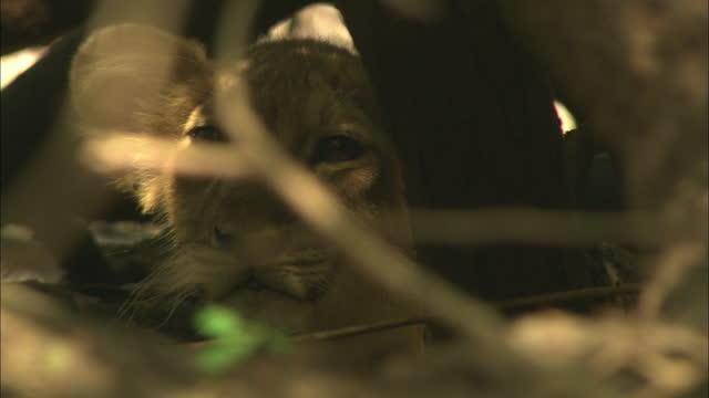 vídeos de stock e filmes b-roll de young asiatic lion cub peeping out from behind a tree - close up - criação animal
