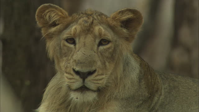 young asiatic lion lying down - animal whisker stock videos & royalty-free footage
