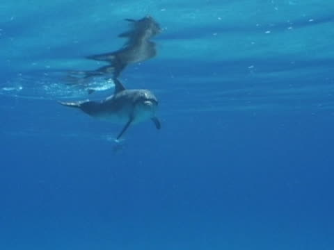 young atlantic spotted dolphin approaching camera - spotted dolphin stock videos and b-roll footage